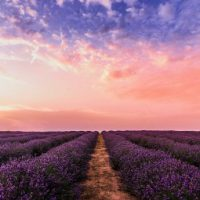 field of lavender at sunset, creating an abundance mindset
